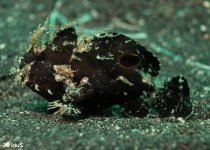 Antennarius sp- Ocellated Frogfish - Lembeh Anglerfisch