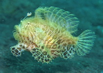 Antennarius striatus - Striped Frogfish (Striated frogfish, Splitlure Frogfish, Zebra Frogfish, Hairy frogfish) - Gestreifter Anglerfisch (Streifen Anglerfisch)