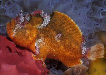 Echinophryne crassispina - Prickly Frogfish -