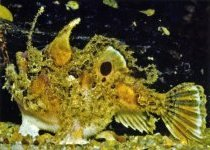 Kuiterichthys furcipilis (Rough Frogfish - Rauer Anglerfisch)