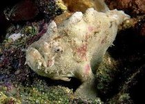 Phyllophryne scortea - Smooth Frogfish - Glatter Anglerfisch