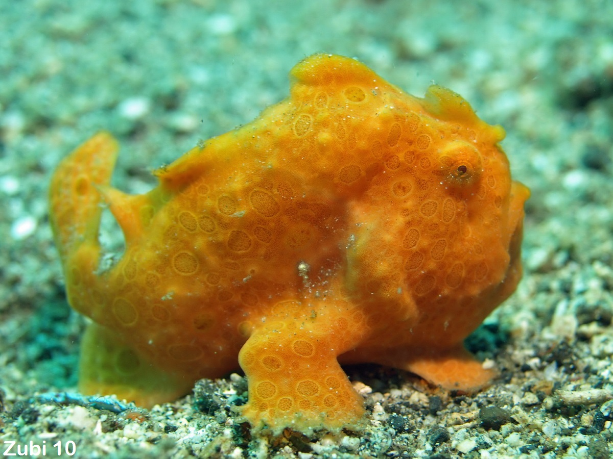 Antennarius pictus - painted frogfish - Rundfleck-Anglerfisch