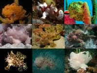 The 10 best known Frogfish Species  - Die 10 bekanntesten Anglerfisch-Arten