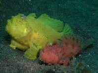 Reproduction frogfish species - Fortpflanzung von Anglerfisch-Arten