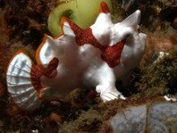 Frogfish-Photos (Antennarius) - Anglerfisch-Fotos (Antennarius)