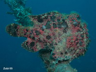Giant frogfish (Antennarius commerson) - with skin appendages which help to camouflage the fish