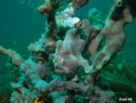 Painted frogfish (Antennarius pictus) - gray frogfish on gray sponge