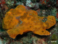 Galloping Painted frogfish (Antennarius pictus)