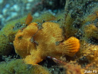 Baby Giant Frogfish (Antennarius commerson) luring