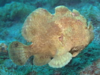 Antennarius commerson (Giant frogfish, Commerson's frogfish - Riesen Anglerfisch)