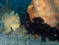 Giant Frogfish (Antennarius commerson), probably 4 black males to the right and one yellow female to the left