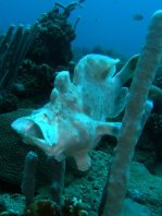 Giant frogfish (Antennarius commerson) opens mouth to yawn