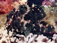 Giant frogfish (Antennarius commerson) - black frogfish