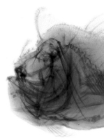 X-ray of the jaw of the Indian Frogfish - Antennarius indicus