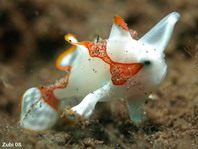 Walking Baby Clown Frogfish (Antennarius maculatus)