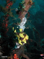 Warty frogfish (Antennarius maculatus) hidden among sponges