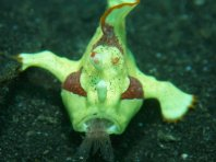 Antennarius maculatus - Clown frogfish luring