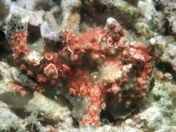 Warty frogfish (Antennarius maculatus) - probably with a protozoan infection on skin which enhances the camouflage effect