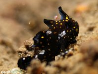 Painted frogfish - <em>Antennarius pictus</em> - Rundflecken Anglerfisch
