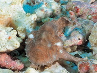 Ambon frogfish - Histiophryne sp (?) - Ambon Anglerfisch
