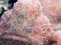 Histiophryne sp1 (honeycomb frogfish  - Wabenmuster Anglerfisch)