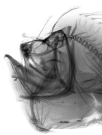 X-ray of the jaw of the Marble-mouth frogfish - Lophiocharon lithinostomus