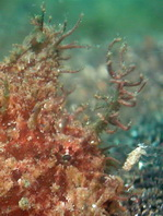 Lembeh Frogfish - Nudiantennarius subteres - Lembeh Anglerfisch
