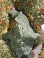 Porophryne erythrodactylus (Bare Island Frogfish / Red-footed Frogfish - Bare Island Anglerfisch / Rotfuss-Anglerfisch)