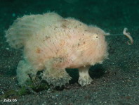 hairy frogfish (Antennarius striatus)