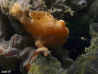 Baby Painted frogfish (Antennarius pictus) starts luring