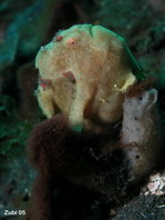 Painted frogfish (Antennarius pictus) - surrounded by cardinalfishes. They are not yet close enough to catch them
