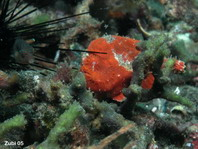 Antennatus sp. - luring between sea urchins, to the left a small boxfish, its intended prey