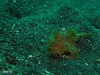 Hairy frogfish (Antennarius striatus) - waits close to a burrow of a goby