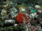 Link to frogfish video - Link zu Anglerfisch-Video