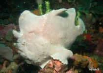 Antennarius commerson - Giant frogfish (Commerson's frogfish) - Riesen Anglerfisch