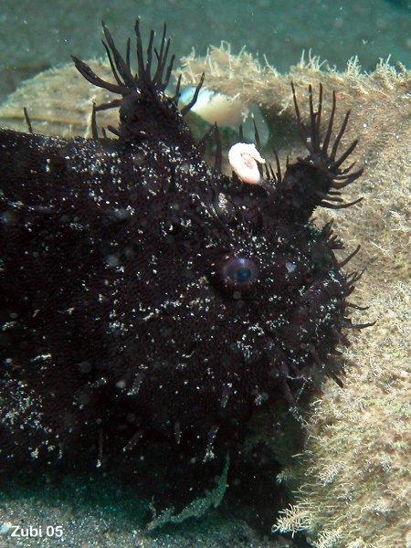Frogfish Anglerfish Antennariidae Colors And Shapes