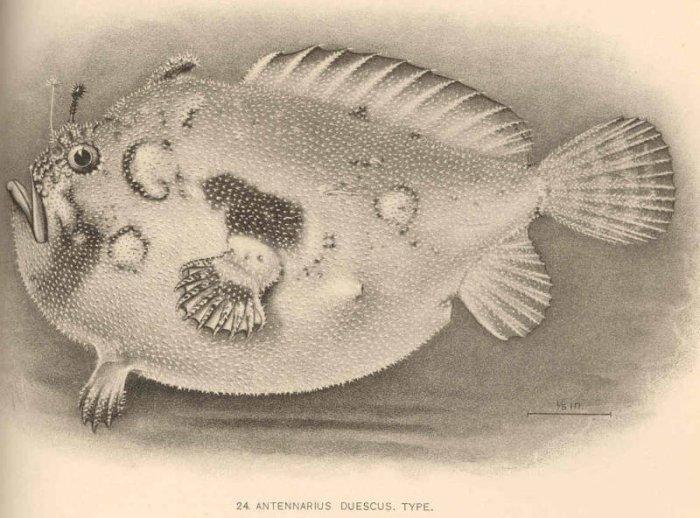 Antennarius duescus - Antennarius duescus (Side-Jet frogfish ...
