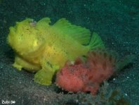Antennarius striatus (Striped or striated frogfish, hairy frogfish - Gestreifter Anglerfisch)