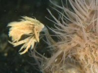 Details of the rod and lure of the hairy frogfish - - Antennarius striatus - Details der Angel und des Köders des Gestreiften Anglerfisches