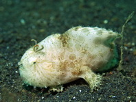 Antennarius striatus (Striped Frogfish, Striated frogfish, Splitlure Frogfish, Zebra Frogfish, Hairy frogfish - Gestreifter Anglerfisch, Streifen Anglerfisch)