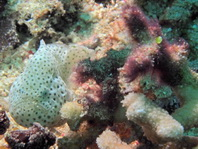 Histiophryne cryptacanthus (Cryptic Frogfish, Rodless frogfish - Verborgener Anglerfisch)