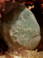 Cryptic Frogfish / Rodless frogfish - <em>Histiophryne cryptacanthus</em> - &quot;Verborgener&quot; Anglerfisch