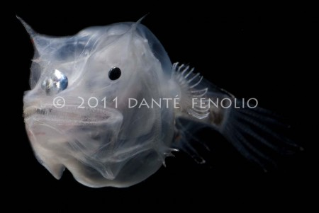Deep sea anglerfishes melanocetidae and ceratiidae characteristics ghostly seadevil haplophryne mollis of the family linophrynidae copyright dant fenolio sciox Gallery