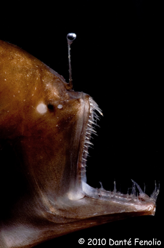 Deep-Sea Anglerfishes Melanocetidae And Ceratiidae -3644