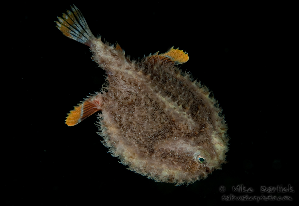 Deep sea anglerfishes melanocetidae and ceratiidae characteristics chaunacidae sea toads these anglerfishes that live on the bottom benthic still have fins that look like legs similar to the frogfishes sciox Gallery